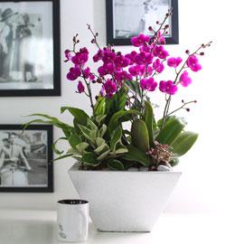 휴식이 되는 생활공간 - 사각화기에 심은 만천홍 (**화기변경**) 꽃배달하시려면 이미지를 클릭해주세요