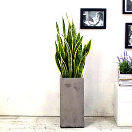 개업식에 화분을 부탁해!  - 말이 필요없는 공기정화식물 산세베리아 대 꽃배달하시려면 이미지를 클릭해주세요