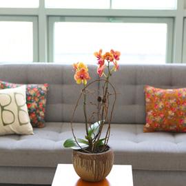꽃이 아름다운 개업축하선물 서양란 - 주황색의 호접란은 포근하고 따뜻해 꽃배달하시려면 이미지를 클릭해주세요