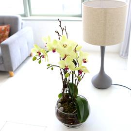 꽃이 아름다운 개업축하선물 서양란 - 오래가는 서양란 추천엔 반드시 포춘 꽃배달하시려면 이미지를 클릭해주세요