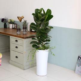 대표적인 개업축하화분 실내공기정화식물 -  실내에 적당한 관엽 광채나는잎의 고무나무 꽃배달하시려면 이미지를 클릭해주세요