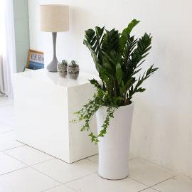대표적인 개업축하화분 실내공기정화식물 - 부자 되세요 금전수 꽃배달하시려면 이미지를 클릭해주세요