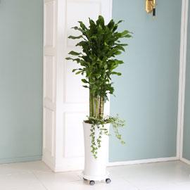 대표적인 개업축하화분 실내공기정화식물 - 대박나시고 성공하세요 금전운의 황금죽 꽃배달하시려면 이미지를 클릭해주세요