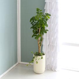 대표적인 개업축하화분 실내공기정화식물 - 크기도 적당해서 관리가 쉬운 녹보수 꽃배달하시려면 이미지를 클릭해주세요