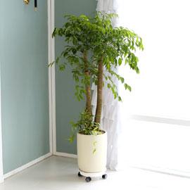 대표적인 개업축하화분 실내공기정화식물 - 행복을주는나무 해피트리 꽃배달하시려면 이미지를 클릭해주세요