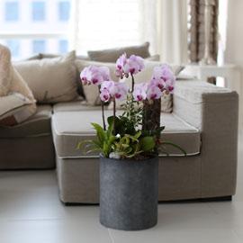 시선을 머물게 하는 실내 식물 - 당당한 핑크호접란(루치아핑크) 꽃배달하시려면 이미지를 클릭해주세요