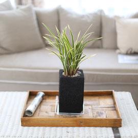 시선을 머물게 하는 실내 식물 - 분위기가 다른 멋있는 동양란 황룡금(숯화분) 꽃배달하시려면 이미지를 클릭해주세요