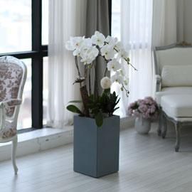 시선을 머물게 하는 실내 식물 - 순백색이 매력적인 화이트호접란 꽃배달하시려면 이미지를 클릭해주세요