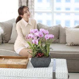 시선을 머물게 하는 실내 식물 - 사랑스러운 연핑크호접(핑크송) 꽃배달하시려면 이미지를 클릭해주세요
