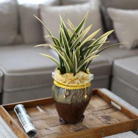 시선을 머물게 하는 실내 식물 - 항아리모양 화기에 담긴 고급동양란(황금일향) 꽃배달하시려면 이미지를 클릭해주세요