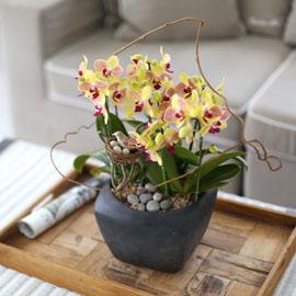 시선을 머물게 하는 실내 식물 -  화려한 빛깔의 아름다움 삼색조 호접란 꽃배달하시려면 이미지를 클릭해주세요