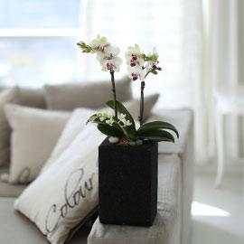 시선을 머물게 하는 실내 식물 -  활력이 느껴지는 서양란 그린베어 (숯화분품절로 검정화기로 대체됨) 꽃배달하시려면 이미지를 클릭해주세요