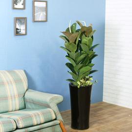 실내식물은 사람에게 좋아요 - 일년내내 인기가 좋은 싱그러운 고무나무 꽃배달하시려면 이미지를 클릭해주세요