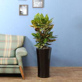 실내식물은 사람에게 좋아요 - 생명력이 길고 풍성한 잎을 가지고 있는 크로톤 꽃배달하시려면 이미지를 클릭해주세요