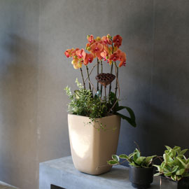 Graceful orchid flowers - 고급스러운 칼라의 서양란오렌지 꽃배달하시려면 이미지를 클릭해주세요