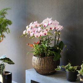 Graceful orchid flowers - 멋지고 고급스러운 서양란 홍설 (*계절에 따라 상품 변경 될 수 있습니다) 꽃배달하시려면 이미지를 클릭해주세요