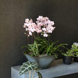 Graceful orchid flowers - 세련된핑크빛의 서양란 리틀잼 꽃배달하시려면 이미지를 클릭해주세요
