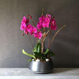 Decorating with Orchids(서양란) - 세련되고 고급스러운 화기에 심은 진핑크호접란 꽃배달하시려면 이미지를 클릭해주세요
