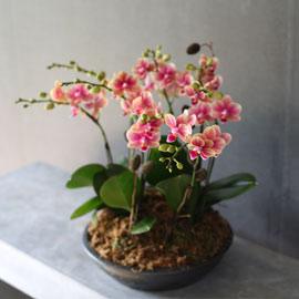 [서울,수도권] Decorating with Orchids(서양란) - 색깔이 아름다운 금나비 꽃배달하시려면 이미지를 클릭해주세요