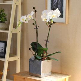Decorating with Orchids(서양란) - 세련돈 서양란 화이트호접 꽃배달하시려면 이미지를 클릭해주세요
