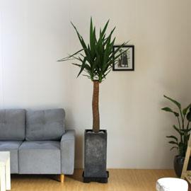 #화분을 부탁해 - 공간을 멋지게,세련되게 해주는 유카(대) 꽃배달하시려면 이미지를 클릭해주세요