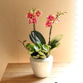 {서울,수도권}감사의 마음을 담아 - 매력적인 칼라의 주황호접란 꽃배달하시려면 이미지를 클릭해주세요