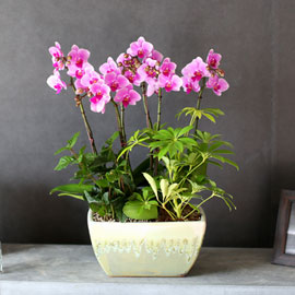 감사의 마음을 담아 - 긍정적인 매력을 주는 연핑크호접란 꽃배달하시려면 이미지를 클릭해주세요