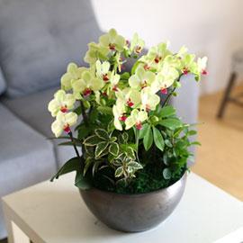 감사의 마음을 담아 - 오래볼수 있어 매력적인 포춘서양란 꽃배달하시려면 이미지를 클릭해주세요