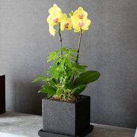 감사의 마음을 담아 - 블랙 화기에 담긴 밝은느낌의 노랑호접란(* 화기변경됩니다.) 꽃배달하시려면 이미지를 클릭해주세요