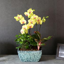 감사의 마음을 담아 - 우아한 빛깔의 밝은 노랑호접란  *화기변경됩니다* 꽃배달하시려면 이미지를 클릭해주세요
