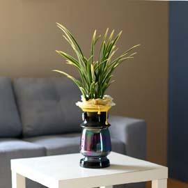 승진축하에 좋은 동양란 - 금기 꽃배달하시려면 이미지를 클릭해주세요