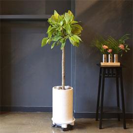 Office & nature 뱅갈고무나무(중) [화기변경] 꽃배달하시려면 이미지를 클릭해주세요