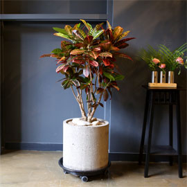 Office & nature 크로톤 꽃배달하시려면 이미지를 클릭해주세요