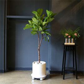 Office & nature 떡갈나무(중) 꽃배달하시려면 이미지를 클릭해주세요