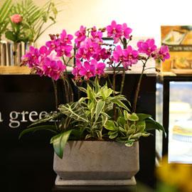 아름다움이 있는 공간 - 화려하고 고급스러운 핑크호접란 꽃배달하시려면 이미지를 클릭해주세요