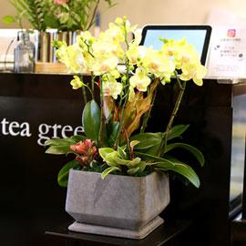 아름다움이 있는 공간 - 노랑호접란(*화기 단종으로 다른 화기로 대체됨) 꽃배달하시려면 이미지를 클릭해주세요