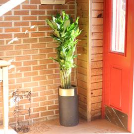 면연력을 길러주는 - 금천죽(*흰색화분으로 변경진행) 꽃배달하시려면 이미지를 클릭해주세요