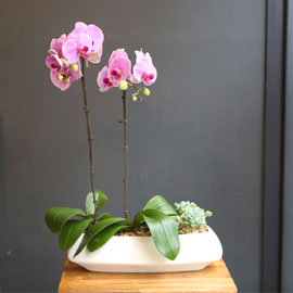 Office & nature Baby Pink orchid  **화기변경** 꽃배달하시려면 이미지를 클릭해주세요