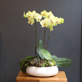 Office & nature Yellow orchid  **화기변경** 꽃배달하시려면 이미지를 클릭해주세요