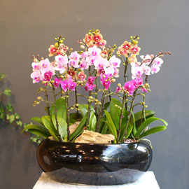 Office & nature 3 colors orchid 꽃배달하시려면 이미지를 클릭해주세요