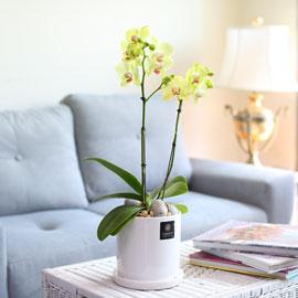 Office & Nature - 호접란 포춘 꽃배달하시려면 이미지를 클릭해주세요
