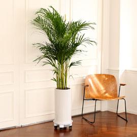 Office & Nature 공기정확 짱 아레카야자 (서울수도권 이외의 지역에서 화분이 변경될 수 있습니다) 꽃배달하시려면 이미지를 클릭해주세요