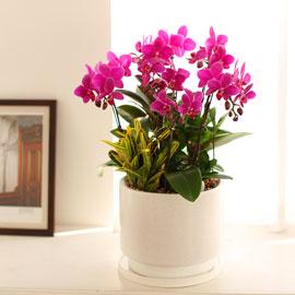 Office & Nature 진한 핑크 호접란 (서울수도권 이외의 지역에서 화분이 변경될 수 있습니다) 꽃배달하시려면 이미지를 클릭해주세요