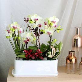 Office & Nature - 싱그러운 연두빛 포춘 꽃배달하시려면 이미지를 클릭해주세요