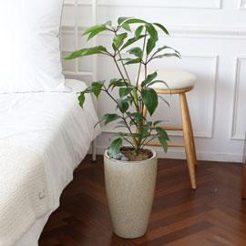 코로나이겨내자 면역력을 길러주는 식물베스트 -대엽홍콩 꽃배달하시려면 이미지를 클릭해주세요