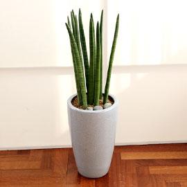 코로나이겨내자 면역력을 길러주는 식물베스트 - 스투키 꽃배달하시려면 이미지를 클릭해주세요