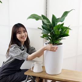 코로나이겨내자 면역력을 길러주는 식물베스트 - 콩고나무 꽃배달하시려면 이미지를 클릭해주세요