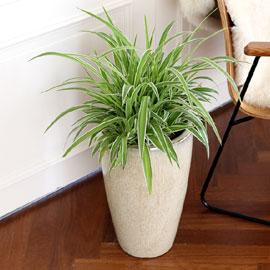코로나이겨내자 면역력을 길러주는 식물베스트 - 클로로피텀 오션 꽃배달하시려면 이미지를 클릭해주세요