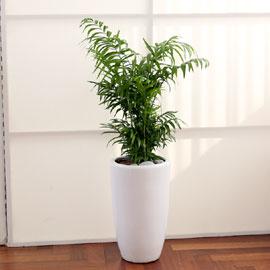 코로나이겨내자 면역력을 길러주는 식물베스트 - 테이블야자 꽃배달하시려면 이미지를 클릭해주세요
