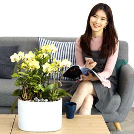 감사의 존경의 선물로 최고선물 서양란 - 노랑호접란 포춘 꽃배달하시려면 이미지를 클릭해주세요